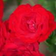 今日の庭から赤と白