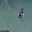 「オシドリ」のいる池④