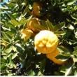 ≪シシユズ・獅子柚子≫ 別名:オニユズ