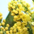 ヒイラギナンテン(マホニア・メディア)の花