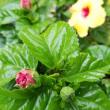 今朝のハイビスカスの花