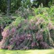 日本庭園のハギ