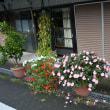 連日の秋雨に大きくなった夏花の鉢とミカンの実