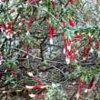 エパクリス・ロンギフロラ Epacris Longiflora
