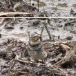 野鳥「ツグミ(鶫)」