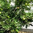 樹木ウォッチング冬から夏へ344リンゴ1