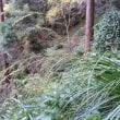 第147回いずみの国の自然館クラブ観察会の下見。2 ~槇尾山施福寺周辺~