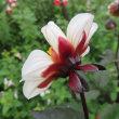 ニコチアナとダリアの花色、色々