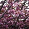 #5781 八重桜