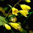 「天涯の花」はキレンマショウガでもあり