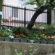 2015年 7月5日 フォーチュンベゴニア~ほぼすべての株が開花。