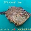 笑転爺の釣行記 5月14日☀ 浦賀港 アミメハギ