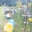 平成29年産 山ソービニオン収穫開始です。