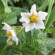 キタアカリの花と実