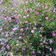 サザンカの花・・・冬を彩る