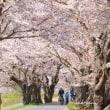 桜満開ライトアップ