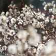 2/24 小船梅林 梅の花