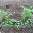 人参の中耕と追肥
