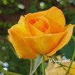 薔薇の園  * 2018 *  Vol.12 * サハラ '98 *