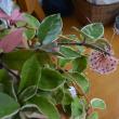 ホヤカルノーサ 多肉植物?