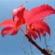 実と葉が美しい皐月のモミジ・・・大阪城