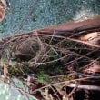 オオムラサキ と メジロの巣