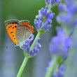 ラベンダー&ベニシジミ蝶