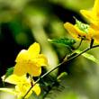 花彩々   山吹の花