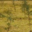 田んぼの雑草