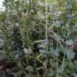 自家用にソラマメを収穫しました