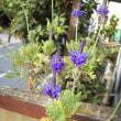 Ma fleur 如月   レースラベンダーが咲いてくれています! ET フリージアさんもー