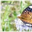 鞍岳山頂の蝶
