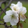 桜さくら(Ⅷ)