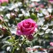 グリーンパークの薔薇 絞りの変化