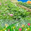 借りた畑 ジャガイモの花、、とっても綺麗に咲いてます