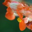 温室の花(アマテラス)
