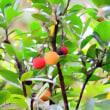 イチゴノキの実 - 東京都調布市 神代植物園