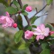 「おはようの花」 ハナカイドウ(花海棠) 3月