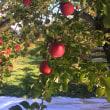 群馬生まれのりんご「新世界」本日スタート