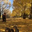 昭和記念公園の黄葉