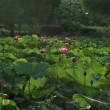白鷺公園の蓮Ⅱ