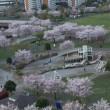 東大島の公園の桜