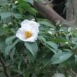 マチブラで先ず紫陽花の大聖寺へ