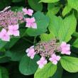 京都市左京区にある京都府立植物園では、多彩な色のヤマアジサイが咲いています