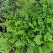 サラダセットの定植