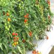 トマト最盛期です