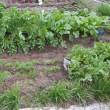 冬野菜が採れ出した