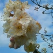 サクランボの花咲く頃