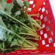 我が家の菜っ葉(川流れ菜)初収穫