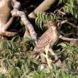 7/18探鳥記録写真-2(鞍手町:サギヤマの模様:ホシゴイ、ゴイサギほか)